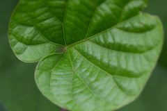 Pavillon leaf (nak.viognier) Tags: pavillonleaf bampakupark osaka   olympusepl3 mzuikodigitaled60mmf28macro