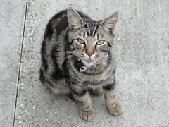 Woody with his tongue out (Moldovia) Tags: sonydschx1 bridgecamera woody cat feline animal tongue pet catnipaddicts catspotting catpix catmoments catalog catsunleashed