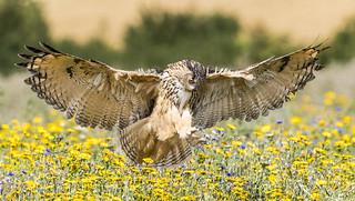 Eurasian Eagle-Owl (Bubo bubo).