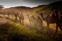 L1003357.jpg (Bharat Valia) Tags: pushkarfair bharatvalia desert rajasthanportraits bharatvaliagmailcom sheperd pushkarimages pushkarmela festivalsofindia camel pushkarcamelfair pushkar