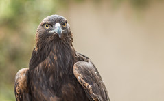 Golden Eagle on Watch_3056 (pagepw) Tags: gold eagle rapter bird prey