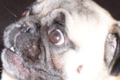 GFFFFHHGGGTTTHHHHH (Airbornebovine) Tags: albuquerque newmexico indoor animal pet dog pug closeup face funny stupid