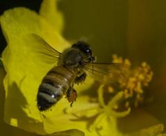 Bee_SAF4074-1 (sara97) Tags: bee flower flyinginsect insect missouri nature outdoors photobysaraannefinke pollinator saintlouis towergrovepark urbanpark wildlife copyright2016saraannefinke