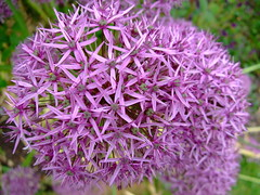 Allium ''lucy ball'' (yewchan) Tags: flower flowers garden gardening blooms blossoms nature beauty beautiful colours colors flora vibrant lovely closeup allium alliumlucyball