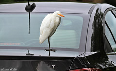 """What can I do to get you in this car today?"" (Shannon Rose O'Shea) Tags: shannonroseoshea shannonosheawildlifephotography shannonoshea cattleegret egret bird car carsalesman jndingdarlingnationalwildliferefuge sanibelisland florida nature wildlife waterfowl black white feathers beak flickr wwwflickrcomphotosshannonroseoshea itsonlybeendrivenbyalittleoldladyonsunday itsacreampuff letmetalktomyboss canon canon100400mm14556lis windows chevycruz birdyfeet skinnylegs canoneos7d"