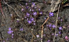 Utricularia violaceae (jeans_Photos) Tags: dobaderryswamp utricularia utriculariaviolaceae carnivorous westernaustralia wandoonationalpark
