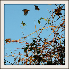 BIRDS OF EVENING (Di's Free Range Fotos) Tags: birds gathering fluttering flyingpast tangled bushes flock