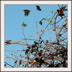 BIRDS OF EVENING (Di's Free Range Fotos) Tags: birds gathering fluttering flyingpast tangled bushes flock
