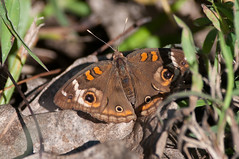 The only Buckeye I like (martytdx) Tags: nj october palmyra palmyracove palmyracovenaturepark birding migrationfall2016 insects butterfly buckeyes commonbuckeye junoniacoenia junonia nymphalinae nymphalidae bmna midsize brown