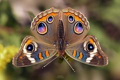Common Buckeye Butterfly (Junonia coenia) (Douglas Heusser) Tags: common buckeye butterfly junonia coenia canon macro photography tamron 90mm lens nature wildlife wings lepidoptera