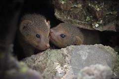 Indian Grey Mongoose (Abhishek T) Tags: indian grey mongoose mammasl nature wildlife animals