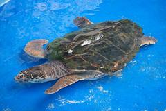 Seeaquarium - Grne Meeresschildkrte (astroaxel) Tags: curacao seeaquarium aquarium grne meeresschildkrte schildkrte