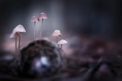 Famille champi (Hexilene) Tags: macro macrodreams mushroom nikon nikonpassion nature nikond750 noir sigma sigma105mm proxy passion