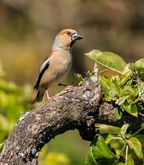 Hawfinch (Tom Dalhoy) Tags: ifttt 500pxrtg 500px finch birds bird wildlife tree green trees summer wild beautiful norway