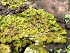 Lichen (chaerea) Tags: bc canada forest fungi mycology nature woodland lichen algae urbannature treetrunk