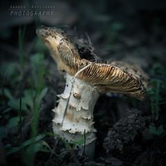 Un fungo nel bosco (Andrea Rapisarda) Tags: fungo bosco sottobosco nebrodi sicilia sicily bokeh macro nikon d750 105mm nature allrightsreserved