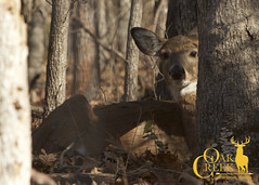 Resting in the shade (oakcreekhunt) Tags: whitetail whitetaildeer wwwoakcreekwhitetailranchcom worldrecordwhitetail weishuhn whatgetsyououtdoors mrwhitetail sci sportear scenery scenic deer deerhunting dsc outdoors recordbookdeer besttrophyhunting besttrophywhitetailhunts bigbuck bigbucks