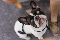 The Dog (Pikaglace) Tags: sony a7 hosni french bulldog dog chien bouledogue franais cute mignon kawaii inu regard clair stare jambe plonge