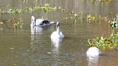 Swans at Stony Point (blazer8696) Tags: 2016 ecw ny newyork redridgemobilehomepark stonypoint t2016 usa unitedstates anatidae anseriformes cygnus cygnusolor img4367 mute muteswan olor swan