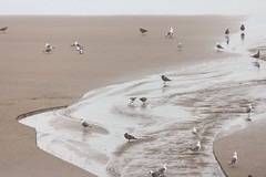 Short Beach, Sand + Gulls (Emily Miller Kauai) Tags: tillamook oregon beach coast ocean sand seagulls birds