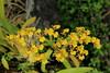 _MG_7822 (zet11) Tags: storczyki bali para młodych banan kwiat