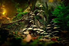 mushroom family in foggy forest (lionbit76) Tags: forest foggy sunset nopeople nature outdoors autumn musrooms outdoor macro fineart