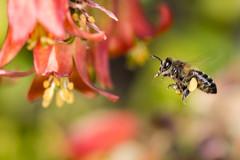 _MG_8634.jpg (rafaherrero) Tags: abejas bichos