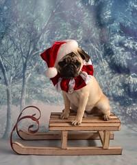 Christmas Pug Santa Claus (DaPuglet) Tags: pug puppy christmas holiday santa santaclaus dog costume winter sleigh pets animals santapug pugsanta pugs dogs sled pet hat animal