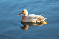 Reflecting Duck (jdathebowler Thanks for 950,000+ views.) Tags: reflectingduck waterfowl duck nature autofofus thebeautyofnature