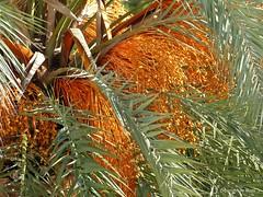 Dattelfrchte, ein Festtagsessen fr Vgel * Date fruits, a festive food for birds *   . P1320850-001 (maya.walti HK) Tags: 2016 balearen copyrightbymayawaltihk datefruits dattelfrchte datteln espaa flickr frutasdepalmeras mallorca palmen palmeras palms panasoniclumixfz200 pflanzen plantas plants spain spanien 271116