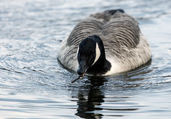 Canada Goose (5) (grahamh1651) Tags: helstonboatinglake birds gulls ducks geese waterbirds swans