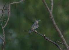 _DSC3044a' (selim.ahmed) Tags: birds bangladesh uttora uttara dhaka smallbirds