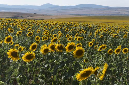 Sunflowers, 23.07.2015.
