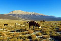 (HimzoIsi) Tags: landscape animal mountain mountainside plateau cow grassland peak hill