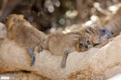 siesta - Rock Hyrax, Klippschliefer, Procavia capensis @ Engedi, Israel 2015 (Jan Rillich) Tags: sun nature beautiful beauty animal rock fauna digital photography eos israel photo flora foto fotografie desert image jan wildlife picture free sunny heat siesta noon hyrax wüste rockhyrax 2015 animalphotography capensis engedi procaviacapensis procavia klippschliefer janrillich rillich