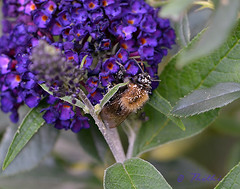 150813 abpmjN 150813 © Théthi ( 2 pics ) (thethi (pls read my first comment, tks)) Tags: nature insecte abeille pollen macro budlea jardin namur wallonie belgique setnamurcity bestof2015 setwings setflowers ruby20 ruby22 setmorethan20fvs20142015 faves43