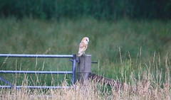 Barn Owl in the wild :) (amy_nutter123) Tags: