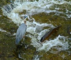 Know Your Limits (Slow Turning) Tags: fish bird water river fishing carp prey greatblueheron wading southernontario ardeaherodias