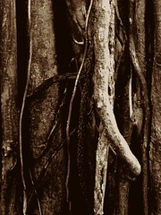 The Wood Ropes (aaugusto.ssuarez) Tags: wood trees tree arbol trunk ropes treebranch iphone