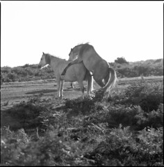 horsing around (steve-jack) Tags: south wales uk hasselblad v 501cm medium format film 120 perceptol blackandwhite bw epson v500 6x6 gower