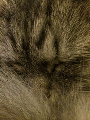 Sleeping Cat (blahdyblah) Tags: catseye sleeping contented whiskers catswhiskers monty cat sleepingcat grey gray black white fur furry kitty