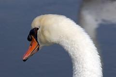 Swan (judyflo1) Tags: bird nature water swan wildlife capemaypoint jerseyshore