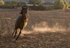 A galopar (miguelangelortega) Tags: animal caballo verano giro trote doma polvo mamífero galope crin ltytr1 cuadrúpedo x100s pciadero