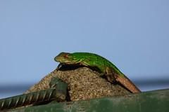 P1050229 (Anciano profeta de Nicaragua) Tags: verde sol maana panasonic reptil garrobo