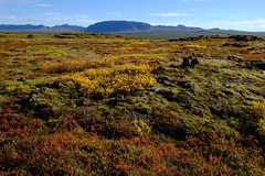 Tapestry of colours (halifaxlight) Tags: autumn red mountain landscape gold iceland rocks grasses shrubs thingvellir goldencircle