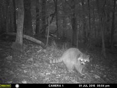 Raccoon on Trail Cam (Lisa Zins) Tags: eyes tn tennessee cam trail raccoon nightvision gamecam trailcam raccooneyes lisazins moultriedigitalgamecamera
