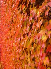 belaubt (Jrg Paul Kaspari) Tags: red rot wand climber mauer parthenocissus rote wilderwein herbstfrbung parthenocissustricuspidata tricuspidata belaubt wandbegrnung
