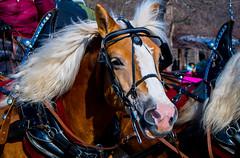 20150131_123607 - 0012 - Winter Days 2015 - Horse-drawn Sleigh Ride - [Portfolio Export] (Buckeye Photography) Tags: winter ohio horse fuji carriage unitedstates days fujifilm portfolio sleigh vermilion metroparks xe2