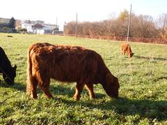 """DSCF8526 Parco Nord - Una fattoria! Niente """"Brusca e Striglia"""" (Franz Maniago) Tags: tori cavalli toro mucche asinello asini bovini animalidomestici animalidafattoria animalidigrossataglia"""