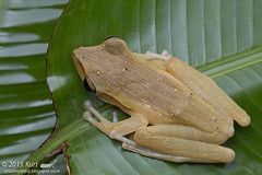 Polypedates leucomystax_MG_5208 copy (Kurt (OrionHerpAdventure.com)) Tags: amphibian frog amphibians amphibia polypedatesleucomystax fourlinedtreefrog